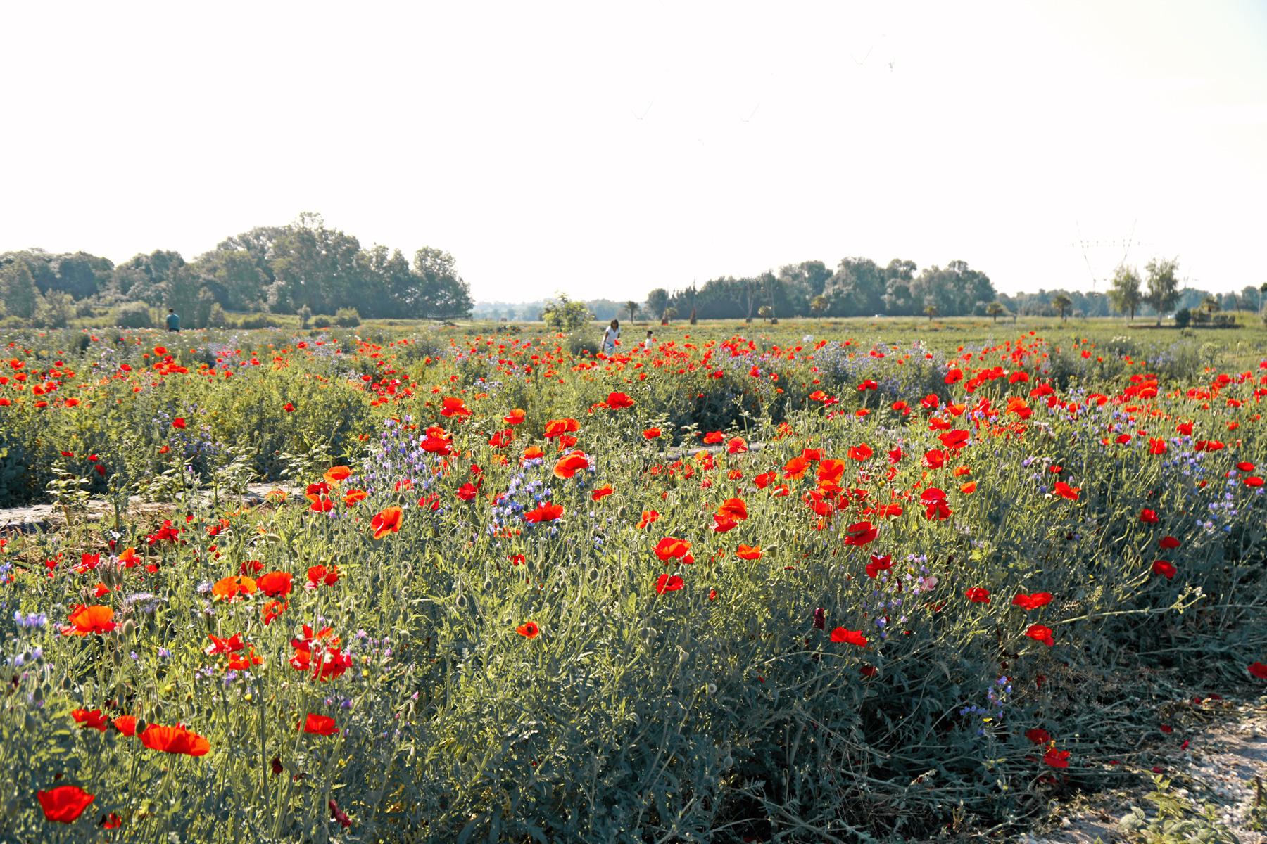 Champs de fleurs à Fraisochamps, Thil