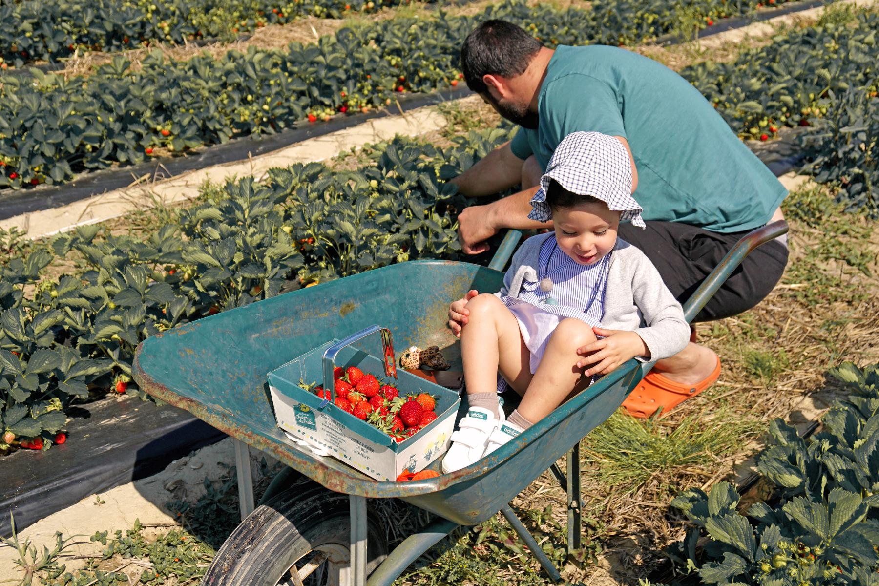 Père et fille pendant la cueillette de fraises à Fraisochamps, Thil