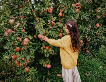 Au verger: Cueillir des pommes sous la pluie.
